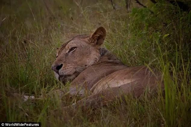 article2147630133586cc0 - Un león joven condenada a morir de hambre por la trampa de un cazador furtivo