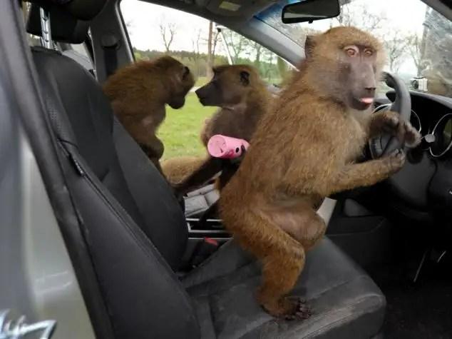 48337146 - 40 monos se enfrentan al reto de probar un coche nuevo