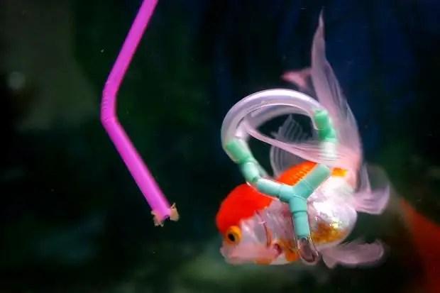 pajita - Un chaleco salvavidas para Einstein, el pez de colores que no puede flotar