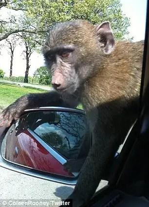 54279393 - 40 monos se enfrentan al reto de probar un coche nuevo