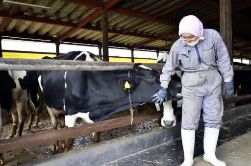 Vacas containadas en Japon