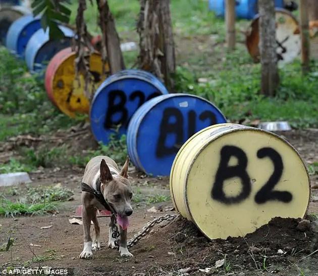 42016922 - 300 pitbulls fueron rescatados de perreras secretas donde eran entrenados para peleas ilegales