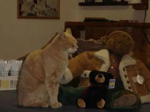alcaldegato13 - El alcalde de un pueblo de Alaska es un gato (un gato de verdad)