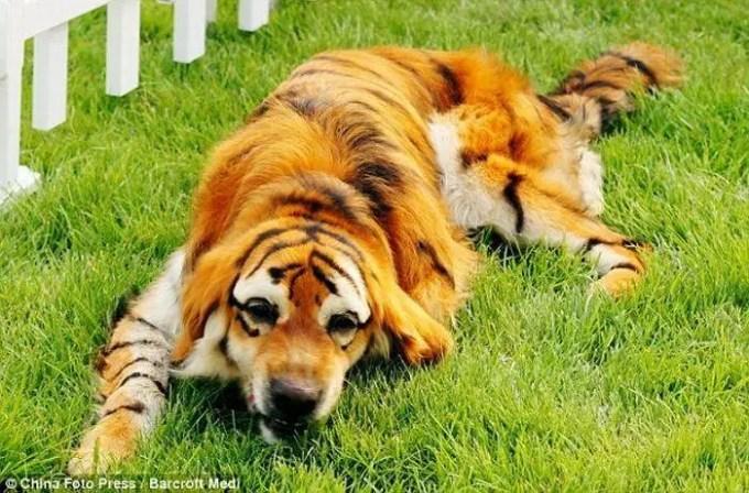 Perros Tigre en China
