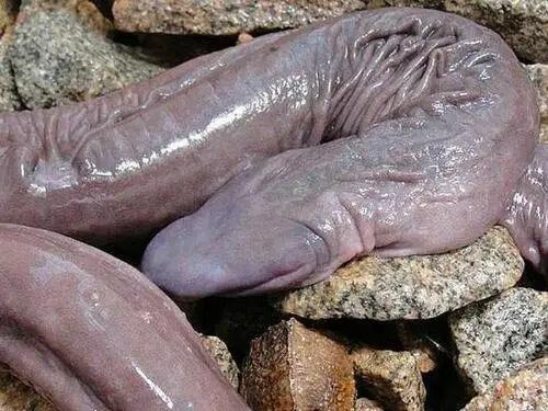 culebrarara2 - Nueva serpiente ciega descubierta en el Amazonas