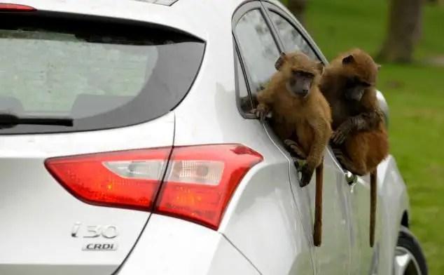 47263880 - 40 monos se enfrentan al reto de probar un coche nuevo
