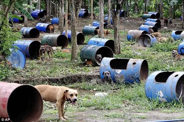26475024 - 300 pitbulls fueron rescatados de perreras secretas donde eran entrenados para peleas ilegales