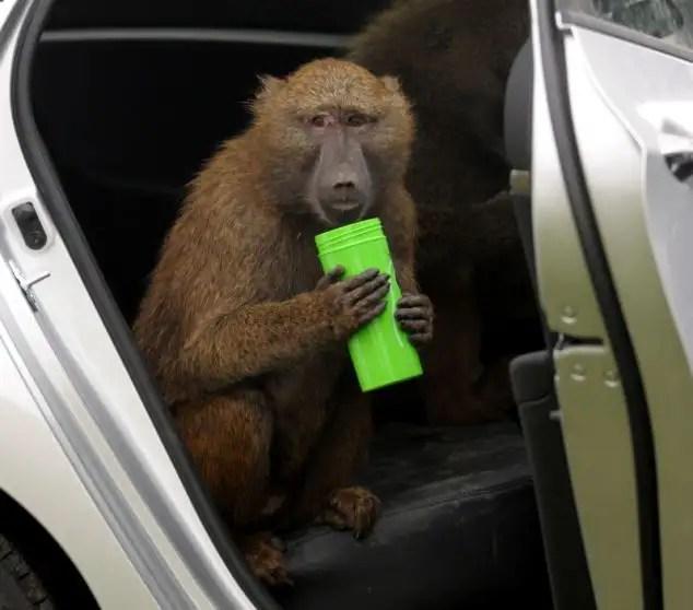 74641989 - 40 monos se enfrentan al reto de probar un coche nuevo