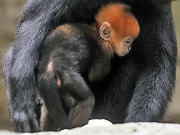 mono3xj - Abnegado Zhang, lamió 1 hora las nalgas de un mono para hacerlo defecar