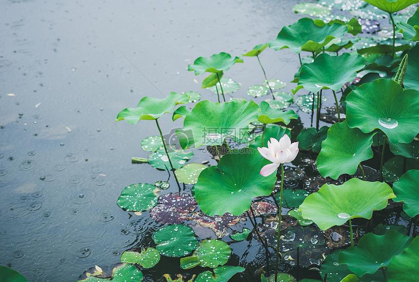 下雨天水上的荷花高清圖片下載-正版圖片500537105-攝圖網