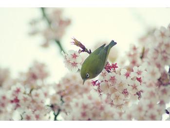 桜_20170315_1