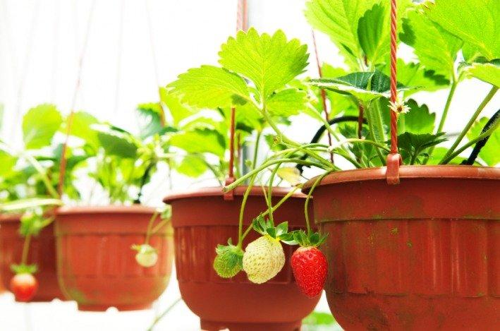 什么菜最容易种?草莓