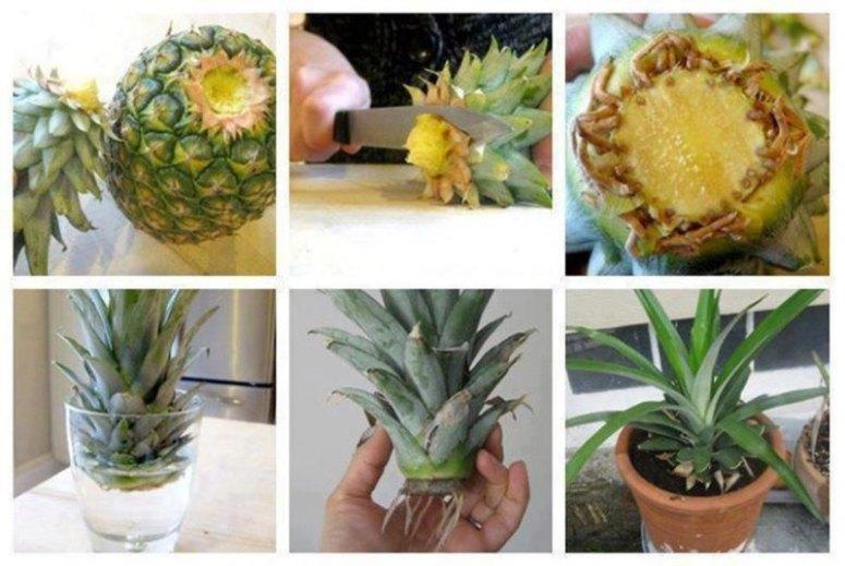 怎么种菠萝