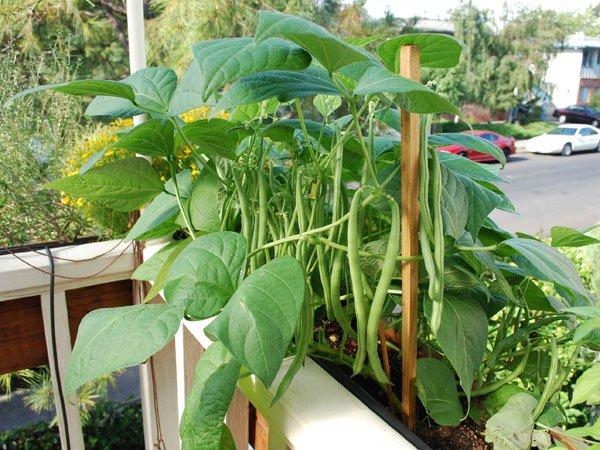 什么菜最容易种?四季豆