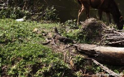 water monitor (Varanus salvator) prey on some kind of snake and next to it is Sambar deer (Cervus unicolor).