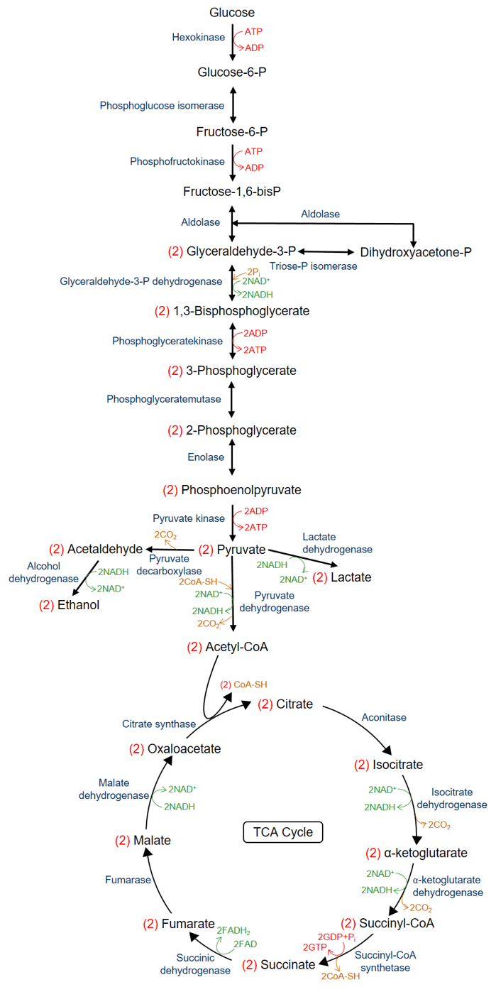 hight resolution of enzyme diagram labeled