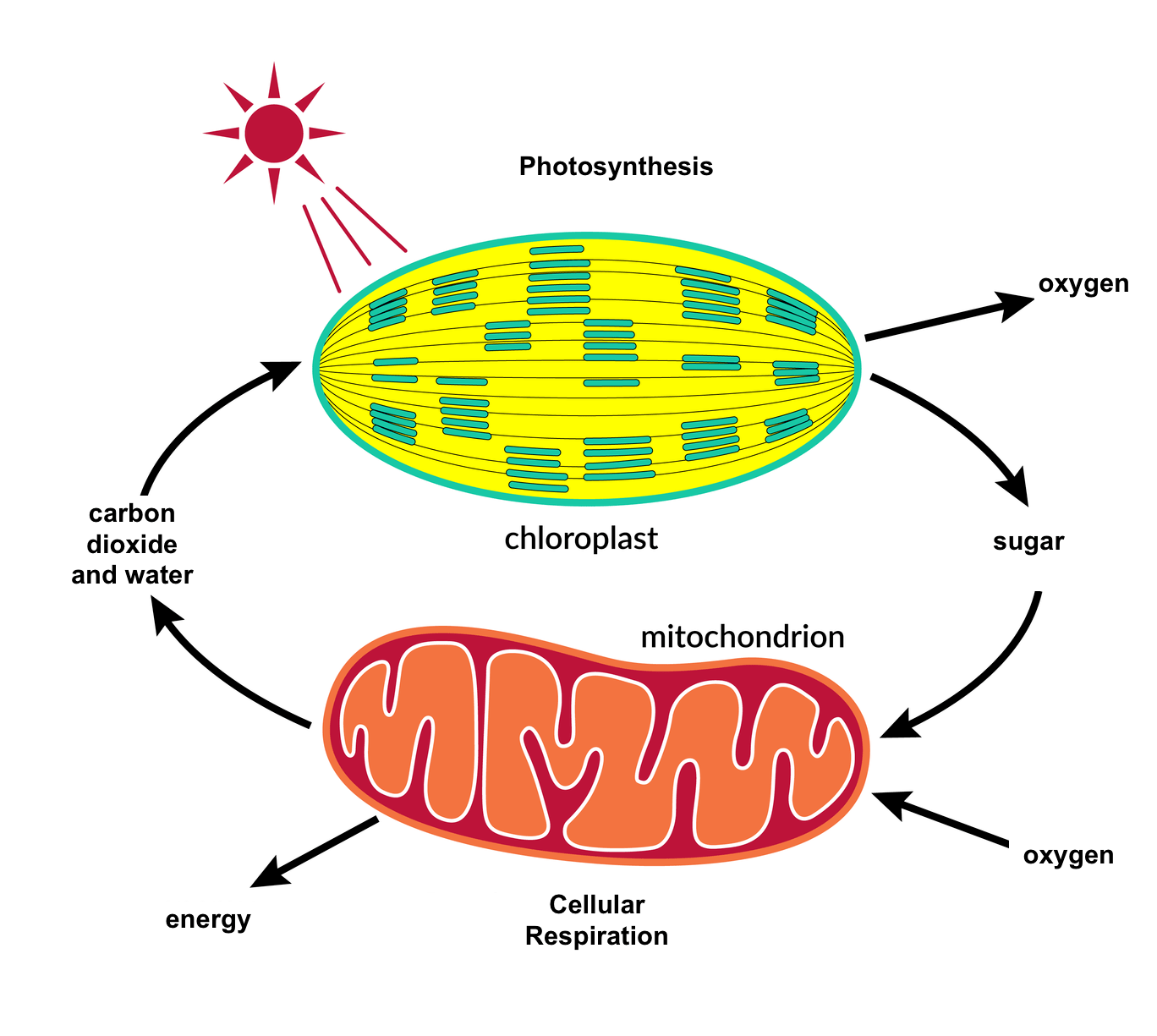 photosynthesis and cellular respiration cycle diagram 96 ford ranger radio wiring ngss life sciences the carbon