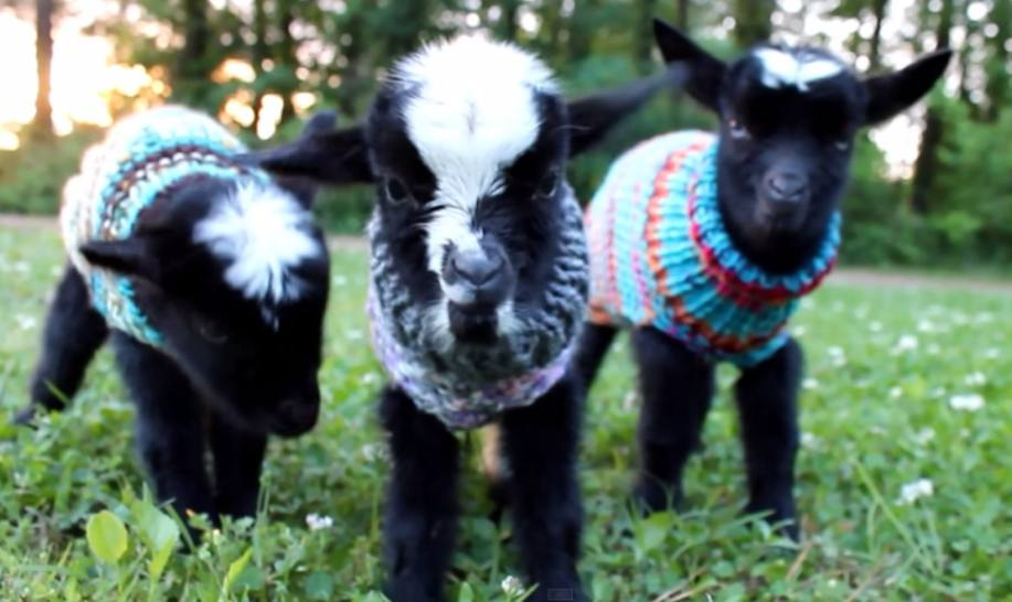 Cute Goat Wallpaper These Baby Goats Wearing Sweaters Are Not Only Super Cute