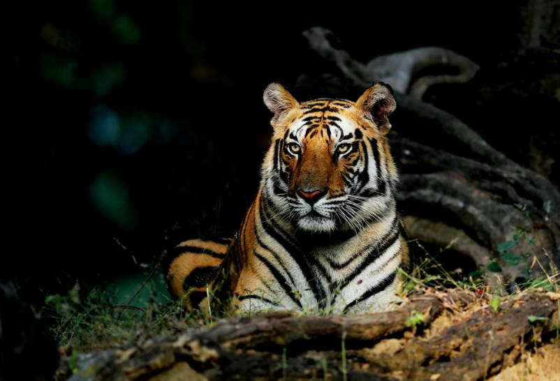 who narrates counting tigers
