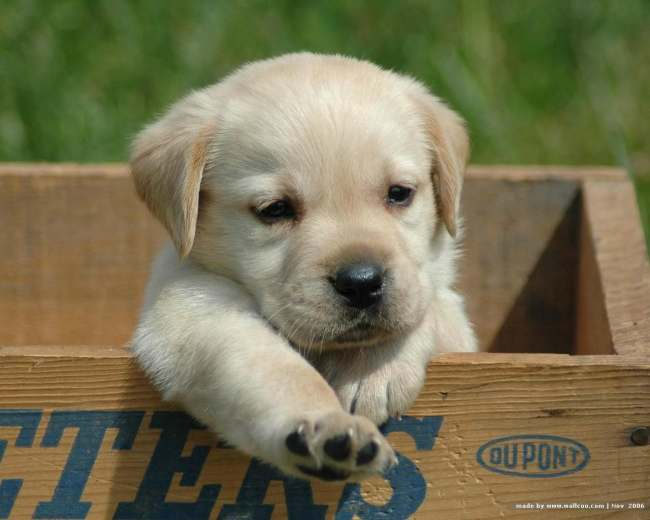 the cutest yellow lab