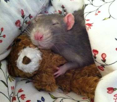 20 adorable rats that