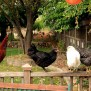 Raising Chickens In New York City Laws Tips And