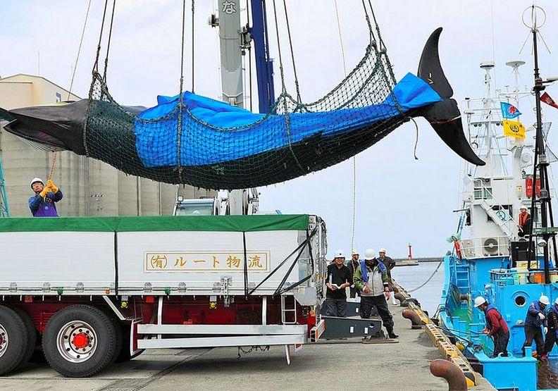 宣布退出捕鯨委員會!日本強調要恢復商業狩獵 | 魯皓平 | 遠見雜誌