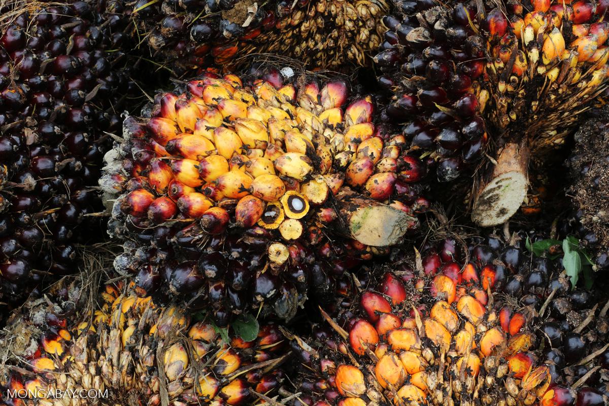 Rspo Pledges Reform After Ngo Exposes Shoddy Palm Oil Audits
