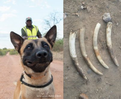 Detector Dogs sniff out illegal ivory, help nab poacher in Tanzania