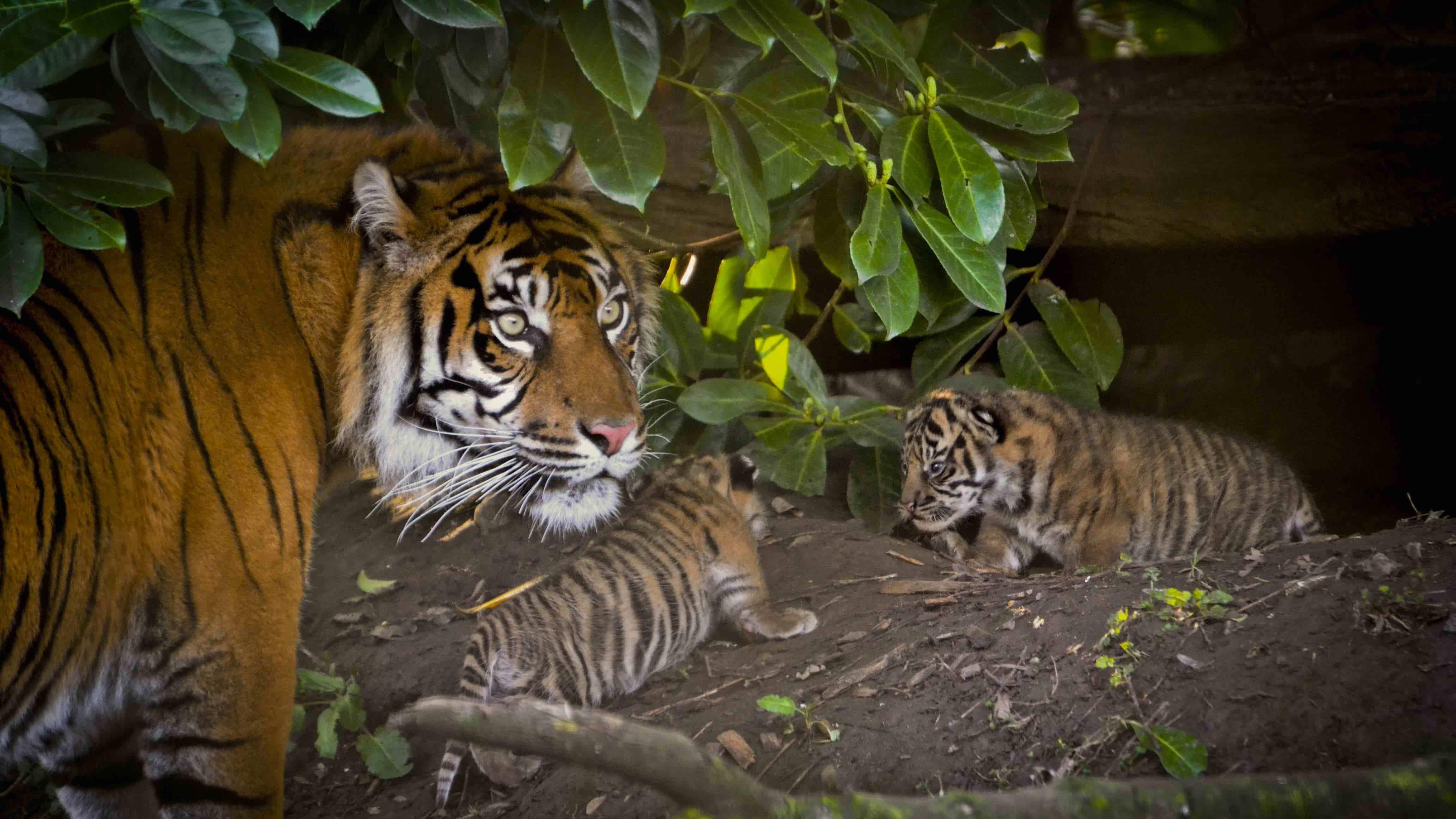 tigers face unprecedented threat