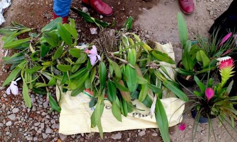 """Cattleya trianae, también conocida como la """"orquídea navideña"""", que se encuentra en peligro de extinción en el mercado de Paloquemao en Bogotá.  Foto de Maximo Anderson para Mongabay."""