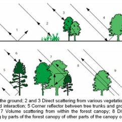 Forest Canopy Diagram 1991 Ford Ranger Fuse Box Data Fusion Opens New Horizons For Remote Imaging Of Landscapes Radar Sensors Emit Radiation That Backscatters Or Bounces Off Objects In Different Ways