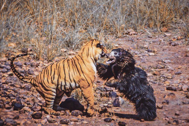 epic battle between tiger
