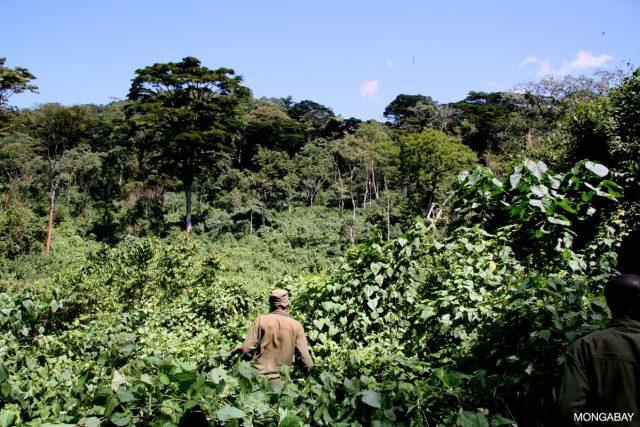 Rangers in neighboring Bwindi Impenetrable National Park, Uganda. Photo for Mongabay.com by Rhett A. Butler.