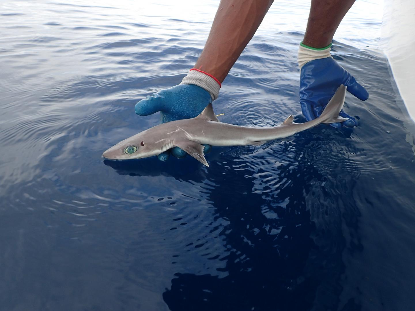 New Species Of Shark Named After Pioneering Shark Lady
