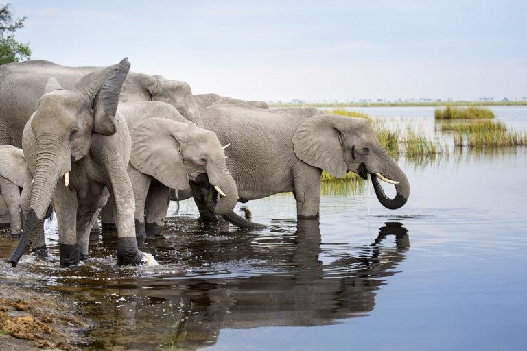 Calls for swift action as hundreds of elephants die in Botswana's Okavango Delta