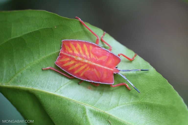 Pink shield bug in Cambodia. Photo by Rhett A. Butler/Mongabay