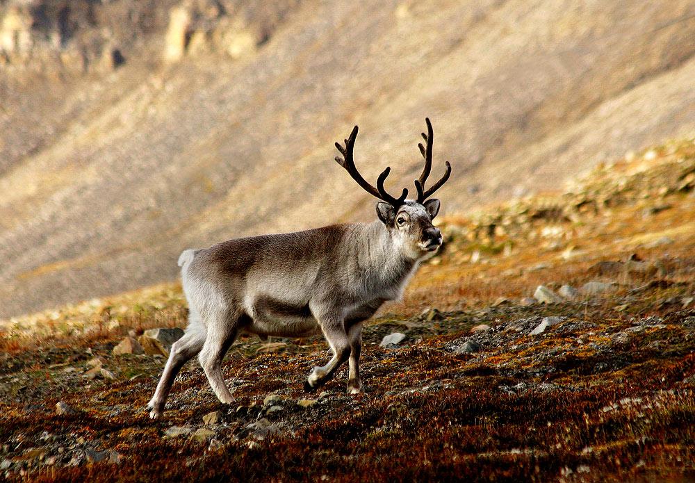 Svalbard reindeer rebounding better than hoped after nearly going extinct