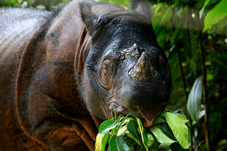 A new sanctuary for the Sumatran rhino is delayed amid COVID-19 measures