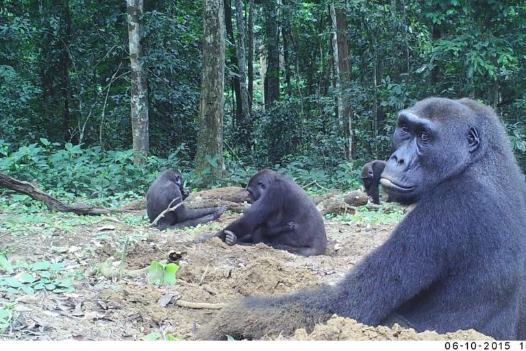 Western Lowland Gorillas May Be Territorial A New Study Finds