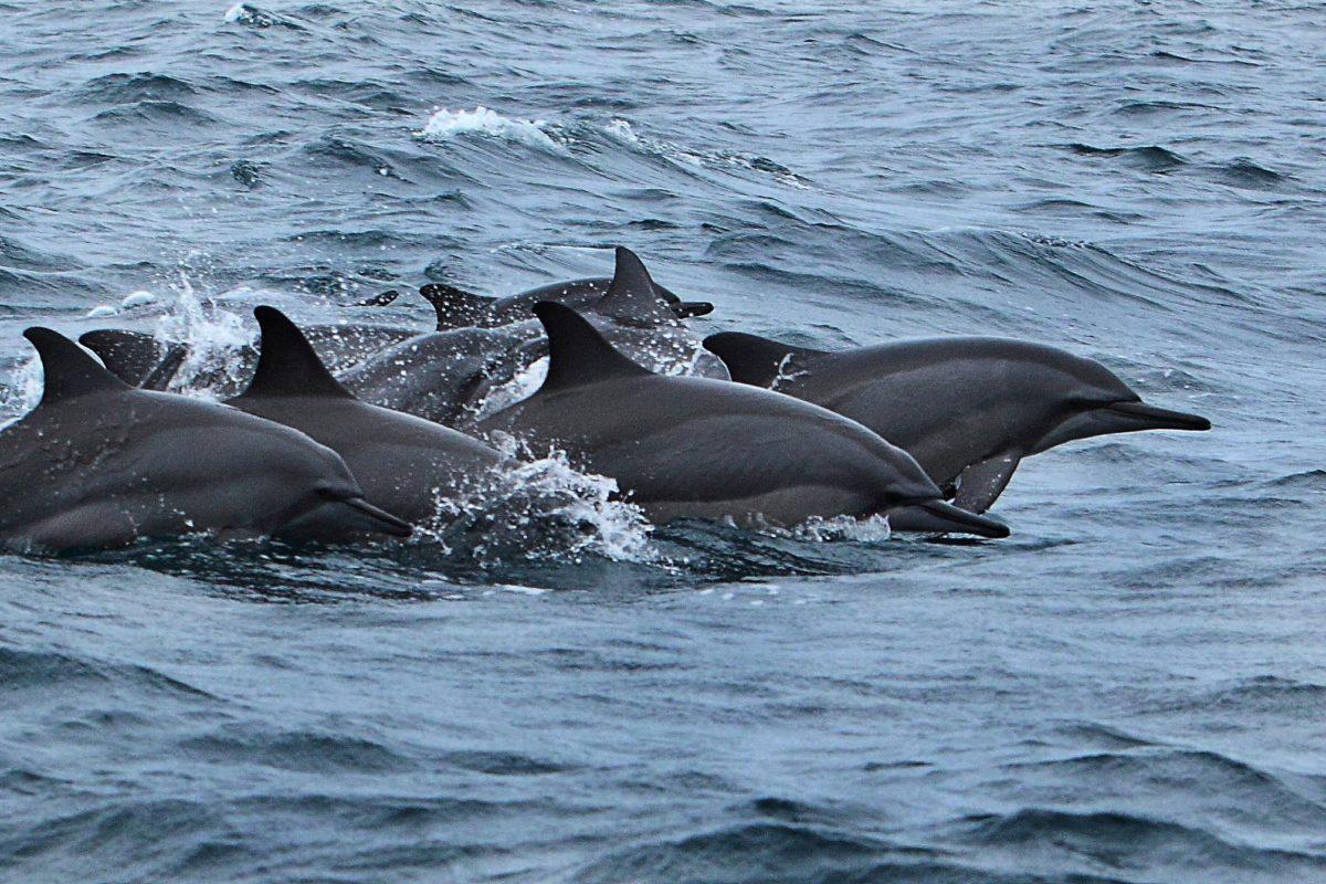 In Sri Lanka, gillnets targeting tuna claim dolphin lives
