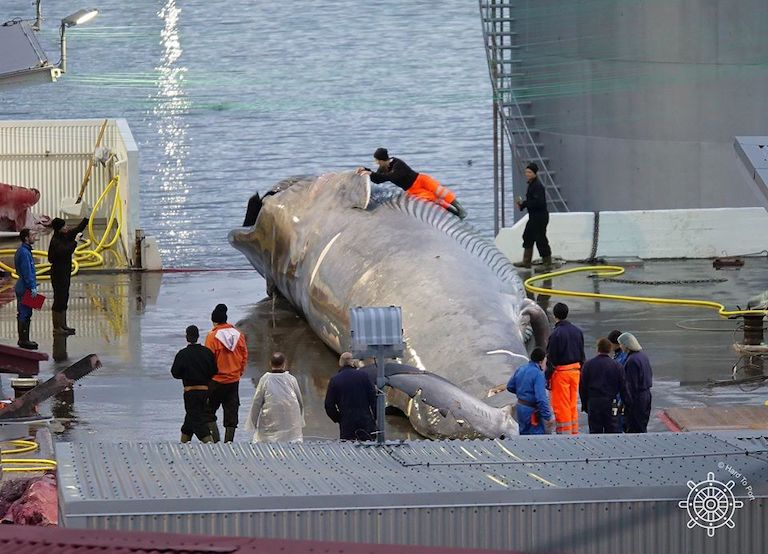 Workers at Hvalur's whaling station pose for photos with a rare blue whale-fin whale hybrid