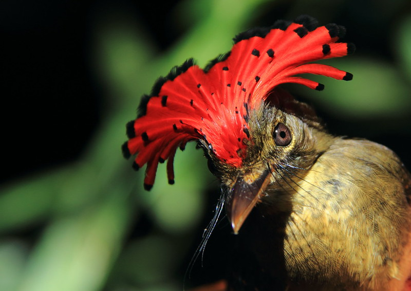 Birds in Amazon forest fragments: New study summarizes 40 years of research