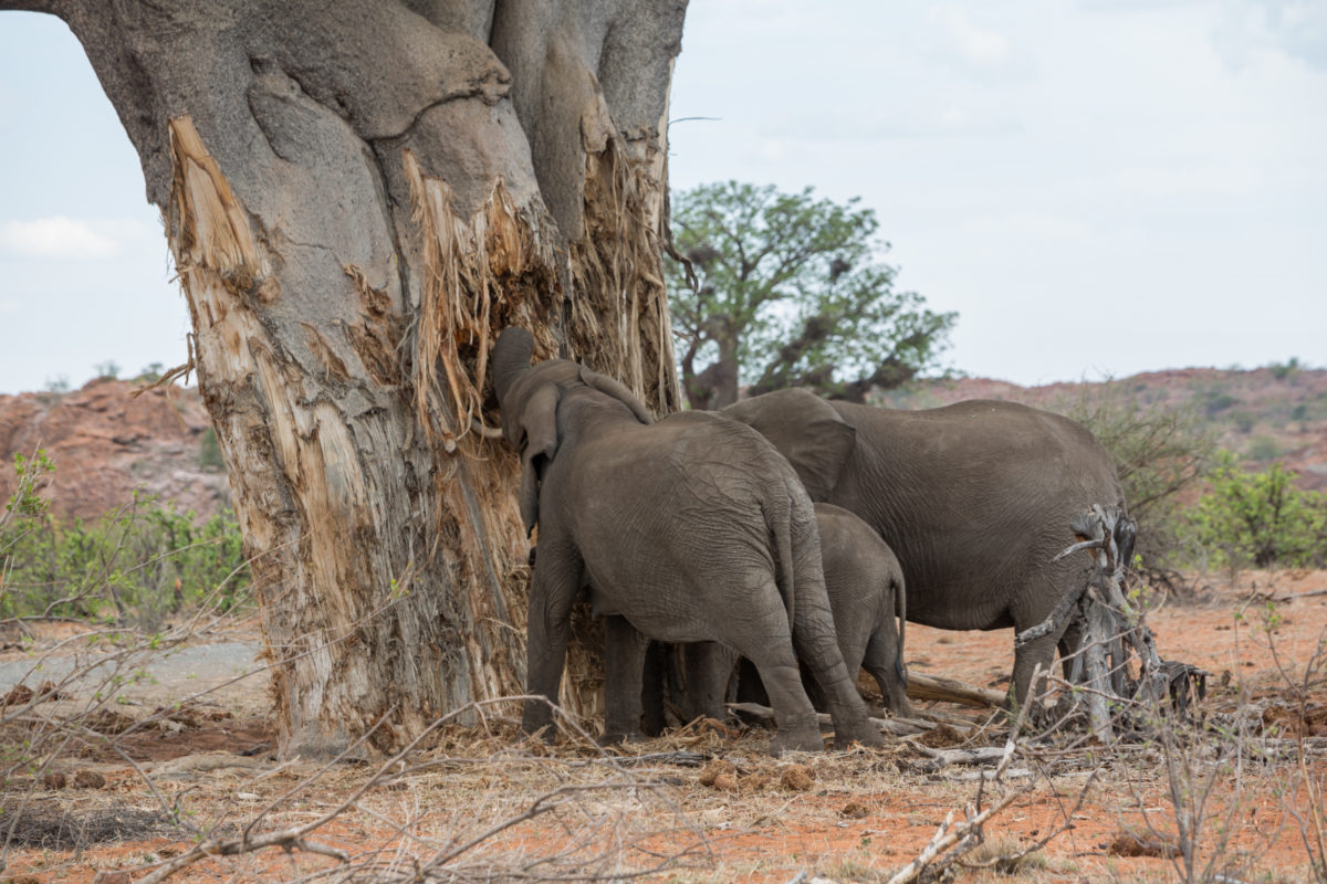 Elephants digging into a baobab tree in Mapungubwe National Park, South Africa. Image by Nathalie Bertrams for Mongabay.