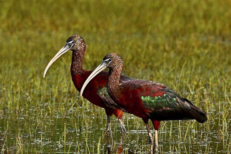 In lockdown's calm, glossy ibis finds prime nesting conditions in Sri Lanka