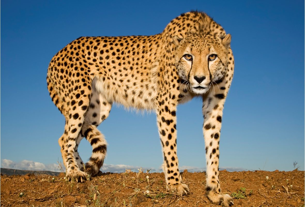 Spots of hope: Some good news for South Africa's cheetahs