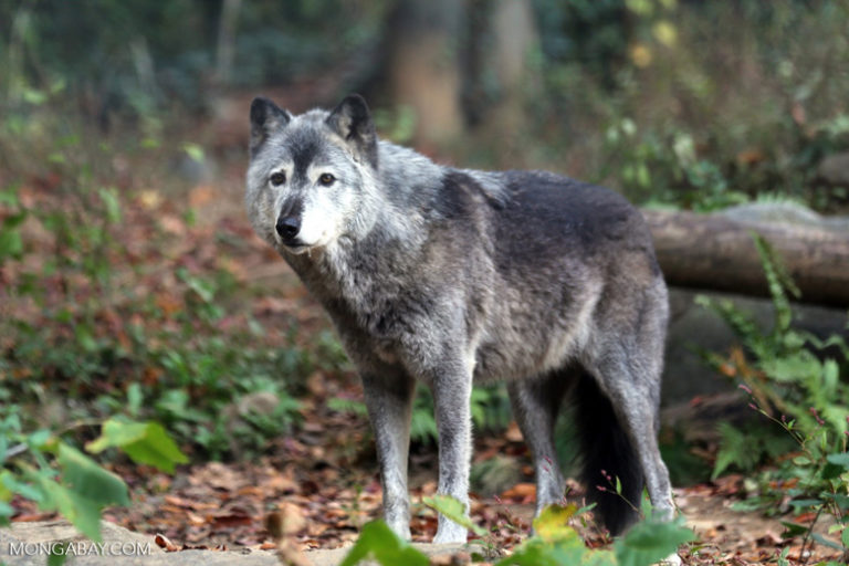 Are wolves related to dogs? Candid Animal Cam meets the largest member of the dog family