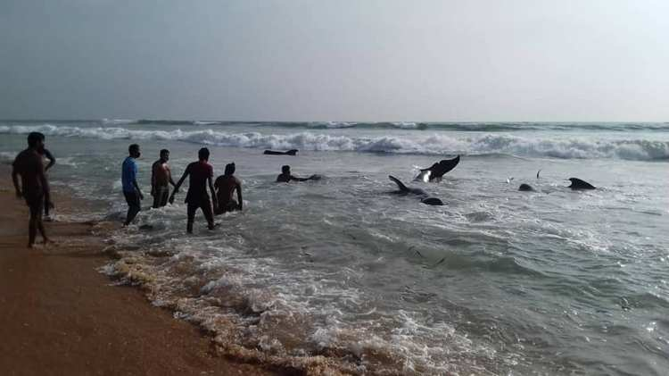 Sri Lankans save pilot whales in epic rescue after mass stranding