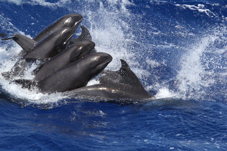 The study included three melon-headed whales (Peponocephala electra), a common offshore species, that contained high levels of selenium and mercury and trace amounts of BPA and NPE in their tissues. Photo Credit: Laura Morse, NOAA/NMFS/PIFSC