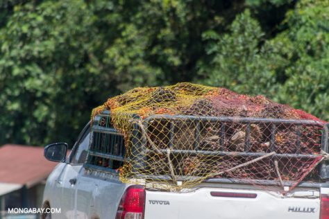 Oil palm fruit bunches in a truck for transport to market. Image by John C. Cannon/Mongabay.